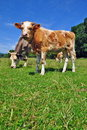 Free Cows On A Summer Pasture Royalty Free Stock Image - 20453306