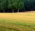 Free Wheat Fields And Woods Stock Images - 20455714