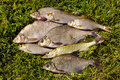 Free Fresh Fish On The Grass Stock Images - 20456004