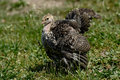 Free Turkey Strut Royalty Free Stock Photography - 20456697
