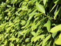 Free Green Leaves In The Sunshine Royalty Free Stock Photo - 20459475