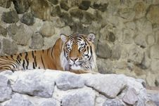 Free Bengal Tiger Royalty Free Stock Photography - 20450057