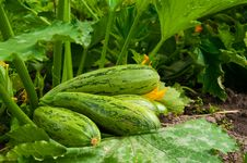 Free Flowering Marrow With Fruits Royalty Free Stock Photo - 20450345