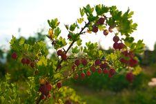 Free Close Up Of Ripe Gooseberry On A Bush Stock Image - 20450541