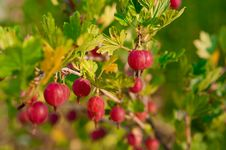 Free Close Up Of Ripe Gooseberry On A Bush Stock Photography - 20450552