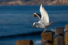 Seagull Taking Off From Wooden Pole