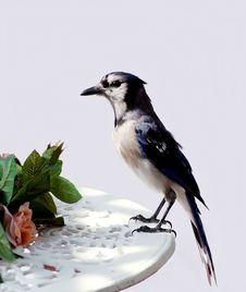 Free Blue Jay Stock Images - 20451724