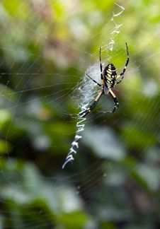 Free Argiope Aurantia Spider In Web Royalty Free Stock Image - 20451886