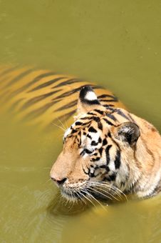Free A China Southern Tiger Dip In Pool Water Royalty Free Stock Photography - 20451917