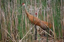 Free Nesting Sandhill Cranes Royalty Free Stock Photos - 20453108