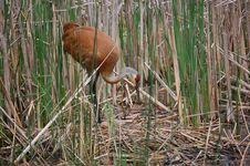 Free Nesting Sandhill Crane Stock Image - 20453111