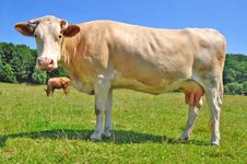 Free Cow On A Summer Pasture Royalty Free Stock Image - 20453256