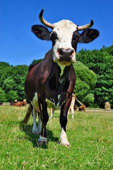 Free Cow On A Summer Pasture Royalty Free Stock Photography - 20453277