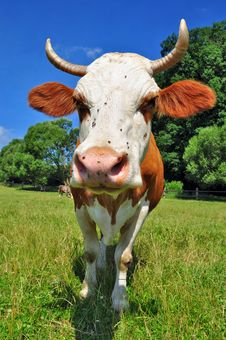 Free Cow On A Summer Pasture Stock Photography - 20453282