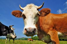 Head Of A Cow Stock Photography