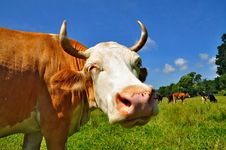 Head Of A Cow Stock Images