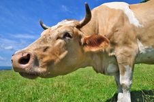 Head Of A Cow Royalty Free Stock Photography