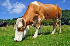 Free Cow On A Summer Pasture Royalty Free Stock Photo - 20453335