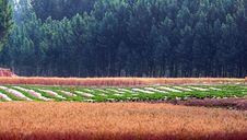 Free Wheat Fields And Woods Royalty Free Stock Photo - 20454905