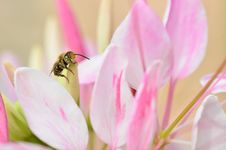 Free Cute Honey Bee Royalty Free Stock Image - 20454936