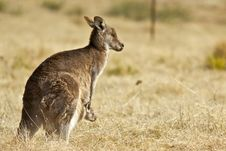 Free Kangaroo With Joey Stock Photo - 20455250