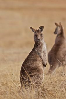 Free Kangaroo Royalty Free Stock Photography - 20455277