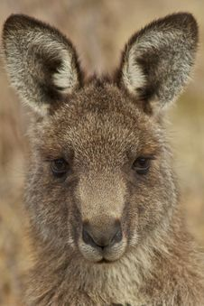 Free Kangaroo Portrait Royalty Free Stock Photo - 20455325