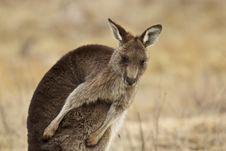 Free Kangaroo Stock Image - 20455351
