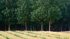 Free Wheat Fields And Woods Royalty Free Stock Photo - 20456155