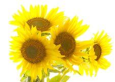 Free Sunflowers Royalty Free Stock Photos - 20457298