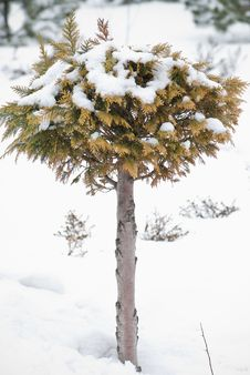 Free Christmas Evergreen Spruce Tree With Fresh Snow On Royalty Free Stock Photos - 20457468