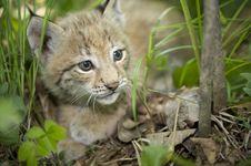 Kitten  Of Lynx Stock Photography