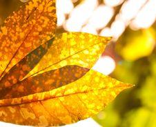 Free Malvaceae Hibiscus Flower Stock Images - 20458394