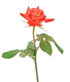 Free Rose Stock Image - 20459671