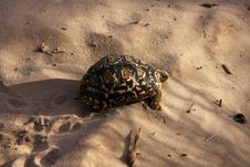 Free Leopard Spotted Tortoise Stock Photo - 20459820
