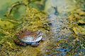 Free Edible Frog In Pond Close-up Stock Photography - 20463672