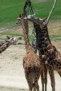 Free Giraffes Royalty Free Stock Photo - 20464435