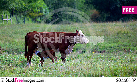 Female Cow with baby cafe feeding Stock Photo