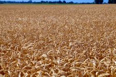 Free Field Of Grain Ready For Harvest Stock Images - 20460214