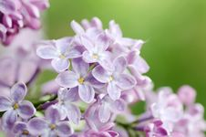 Free Beautiful Lilac Stock Photography - 20462282