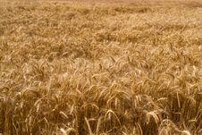 Free Field Of Wheat Stock Photo - 20463520