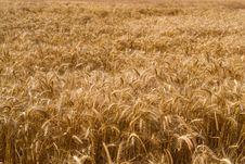 Field Of Wheat Stock Photo