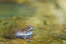 Free Edible Frog In Pond Close-up Stock Photography - 20463702