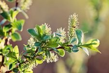 Free Flowering Willow Branch Royalty Free Stock Photography - 20463767