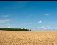 Free Rye Field Royalty Free Stock Image - 20463966
