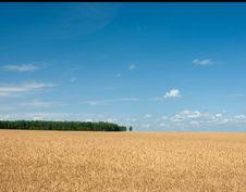 Rye Field Royalty Free Stock Image