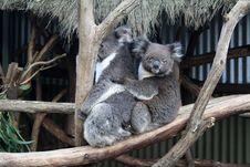 Free Koala Stock Images - 20464554
