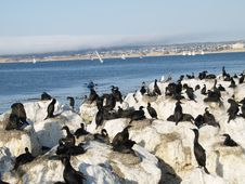 Free Monterey Cormorants Stock Images - 20465214