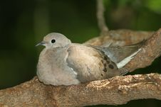 Free Mourning Dove (Zenaida Macroura) Stock Photos - 20466283