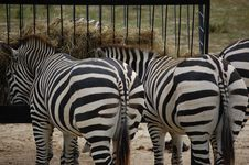 Free Zebras Eating Stock Photo - 20467030